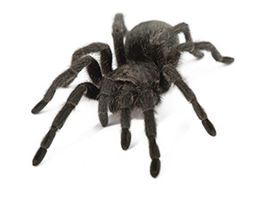 R ver d araign e signification des araign es dans les r veses - Signification araignee dans une maison ...