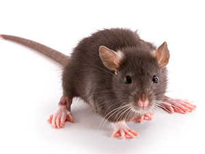 Rever de Rat