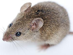 Rever d'une souris